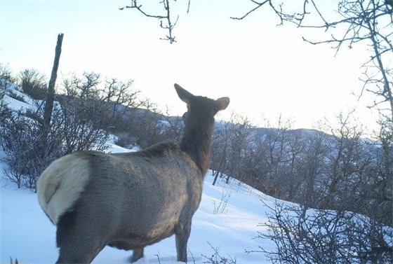 Elk Cam