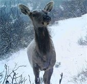 Winter Elk Calf