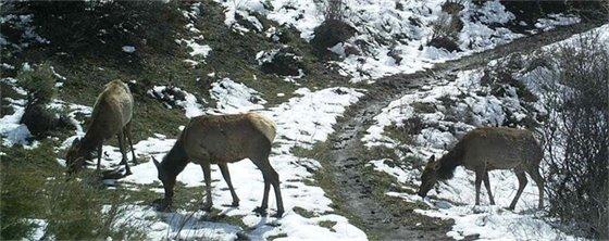 Rim Trail Elk